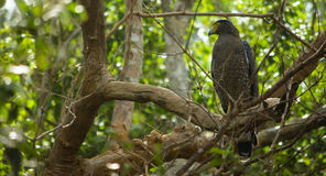 Crested Serpent Eagle royalty free stock photo