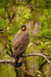 Crested serpent eagle, Spilornis cheela, Accipitridae, Madhya Pradesh. State of India stock images