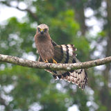 Crested Serpent-Eagle Stock Photography