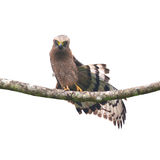 Crested Serpent-Eagle Royalty Free Stock Photo