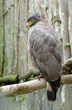 Crested serpent eagle or spilornis cheela Royalty Free Stock Image