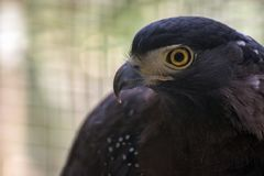 Crested serpent eagle. The crested serpent eagle Spilornis cheela is a medium-sized bird of prey that is found in forested habitats across tropical Asia stock photo