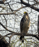 Crested Serpent Eagle (Spilornis cheela) Stock Photos