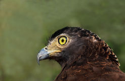 Crested serpent eagle (Spilornis cheela) Royalty Free Stock Photos
