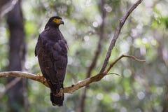 Crested Serpent-eagle - Spilornis cheela, Wilpattu National Park, Sri Lanka Stock Photo
