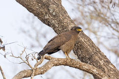 Crested Serpent Eagle in a Tree Stock Images