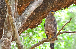 Crested Serpent Eagle At Wilpattu National Park, Sri Lanka Royalty Free Stock Photo