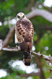 The crested serpent eagle Stock Images