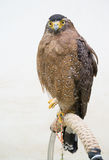 Crested serpent eagle & x28; Spilornis cheela & x29; Royalty Free Stock Photography