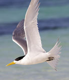 Crested Tern Royalty Free Stock Photos