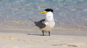 Crested Tern Royalty Free Stock Image