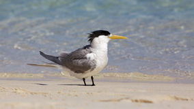 Crested Tern Stock Photography