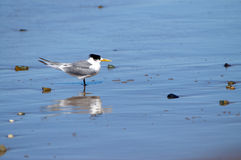 Crested Tern Royalty Free Stock Photography