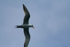 Crested tern. Overflying crested tern, sterna bergii Royalty Free Stock Photography