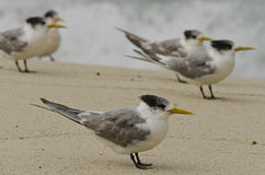 Crested Tern on Beach With Friends in Background Royalty Free Stock Images