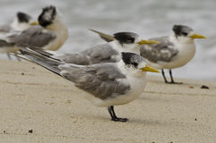Crested Tern on Beach Royalty Free Stock Photography