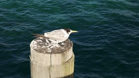 Crested tern at busselton jetty. A crested tern rests on top of a pylon at west australia`s busselton jetty stock video