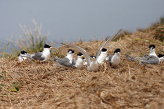 Crested Tern Colony Stock Photography