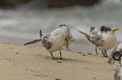 Crested Tern Grooming Stock Image