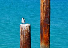 Crested Tern on Ocean Piling royalty free stock images