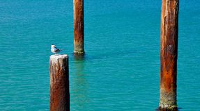 Crested Tern on Piling: Indian Ocean Royalty Free Stock Photos