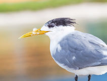 Crested Tern Portrait Stock Photos