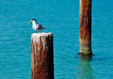 Crested Tern In Profile royalty free stock photography