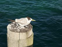 A crested tern rests on top of a pylon at busselton jetty. A crested tern rests on top of a pylon at west australia`s busselton jetty royalty free stock image