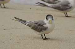 Crested Tern Side-on Facing Camera Royalty Free Stock Photos