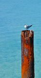 Crested Tern Standing on Rusted Ocean Piling Stock Image