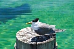 Crested Tern: Western Australia Wildlife Stock Photo