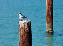 Crested Tern: Western Australia Wildlife stock photography