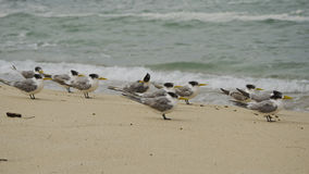 Crested Terns on Beach Royalty Free Stock Photography