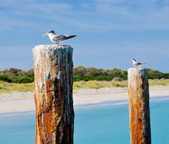 Crested Terns: Coogee Beach, Western Australia royalty free stock images
