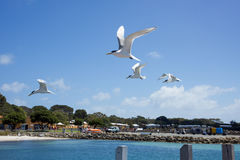 Crested Terns in Flight Royalty Free Stock Photography