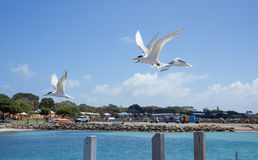 Crested Terns Flying Stock Photo