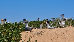 Crested Terns: Nesting in the Dunes Stock Image
