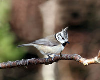 Crested Tit. (Lophophanes cristatus) perched on a tree branch Stock Photo