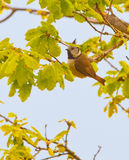 The Crested Tit. A Crested Tit ( Lophophanes cristatus) plays in the sprouting branches of an oak in springtime Stock Images