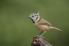 Crested Tit. Sits on a branch Royalty Free Stock Image