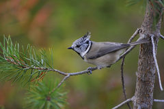 Crested Tit. In search of food in the forest Stock Photos