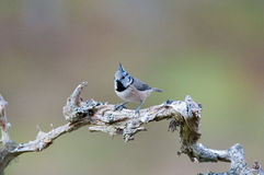 Crested Tit Royalty Free Stock Photo