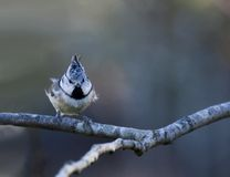 Crested tit Royalty Free Stock Images