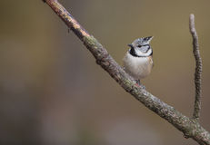 Crested Tit. A cute Crested Tit (Lophophanes cristatus) moves very actively on a twig Royalty Free Stock Image
