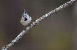 Crested Tit. A cute Crested Tit (Lophophanes cristatus) moves very actively on a twig Stock Image