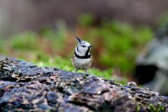Crested Tit Stock Image