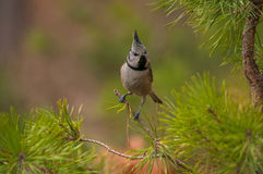 Crested tit Stock Photography