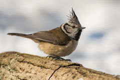 Crested tit. A bird in the wild Stock Photos