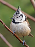 Crested tit Royalty Free Stock Image