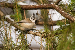 Crested Tit on a branch Stock Images
